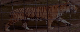 A Tiger in the Zoo (Poem)