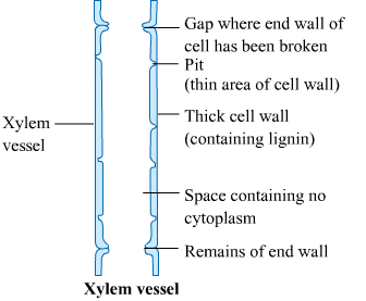 A Draw A Labelled Diagram Of I A Xylem Vessel And Ii A Sieve