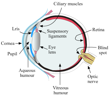 Diagram Of Human Eye Class 10 Wiring Diagram And Ebooks