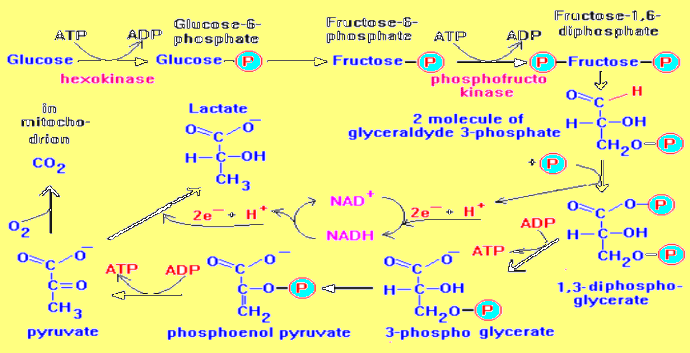 Draw a schemetic representation of emp pathway with the enzyme this is the schematic representation of the emp pathway ccuart Image collections