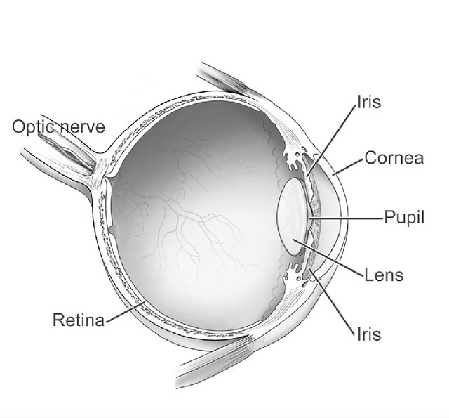 Draw a neat and label diagram of human eye and explain functions of the eye consists of the eyeball which is nearly spherical in shape its front portion called cornea is made up of a transparent material ccuart Images