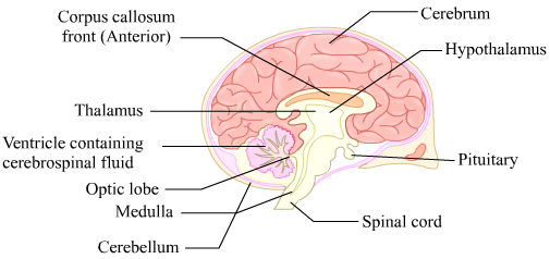 I draw a well labelled diagram of the vertical section of mammalian i vertical section of the mammalian brain ccuart Images