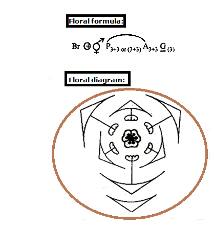 Diagram of a china rose wiring library dear experts please give the floral diagram and floral formula of rh meritnation com labelled diagram of china rose flower diagram of a rose flower ccuart Image collections