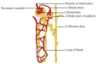 Describe the structure and functioning of nephrons 6291199 expert answer ccuart Choice Image