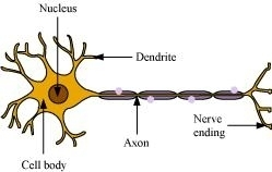 Draw the structure of a neuron and explain its function ...