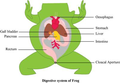 Draw a neat diagram of digestive system of frog biology structural this conversation is already closed by expert ccuart Image collections