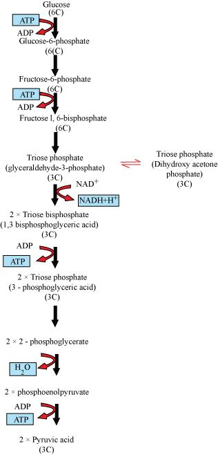 Glycolysis Flow Chart Science Life Processes 10392381 Meritnation