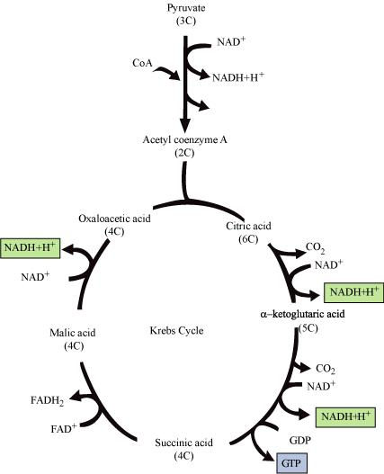 Schematic Diagram Of Krebs Cycle Wiring Diagram For Light Switch