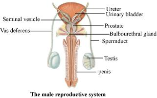 Draw a labeled diagram of male reproductive system | Meritnation.com