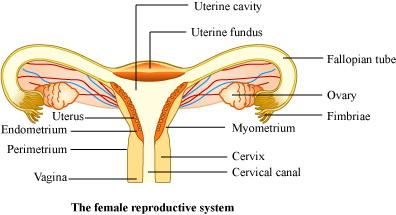Draw a labeled diagram of female reproductive system 6301862 this conversation is already closed by expert ccuart Image collections