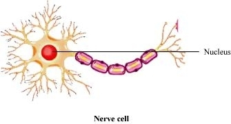 NCERT Solutions for Class 8 Science Chapter 8 - Cell