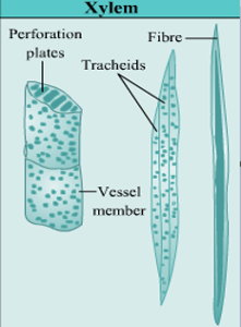 what is xylem and their functions explain its components ...