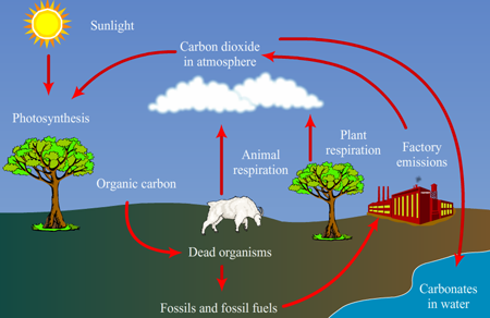 what is carbon cycle and oxygen cycle | Meritnation.com
