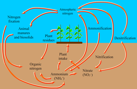 please explain the nitrogen cycle as per ncert science