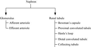 Excretory Products And Their Elimination, Revision Notes