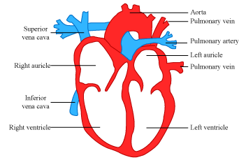 Can any one help me to knw about the blood circulation in heart or in human beings the heart is a muscular organ it is divided into four chambers right auricle right ventricle left auricle and left ventricle ccuart Images