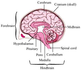Explain the structure of brain 9638331 meritnation the brain is divisible into three main regionsforebrain midbrain and hindbrain ccuart Image collections