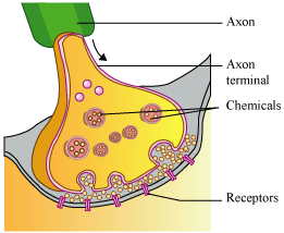 Draw a diagram of neuromuscular junction where impulse is converted a synapse in the muscle fibre is also known as neuromuscular junction ccuart Image collections
