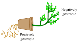 Chemotropism examples plants
