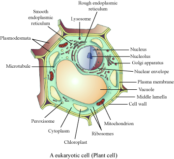 plant cell diagram for class 9 - DriverLayer Search Engine