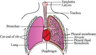 Draw a diagram of the human respiratory system and lable the part 1 trachea 2 diaphragm 3 alveoli ccuart Choice Image