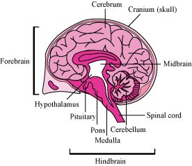Briefly describe the structure of cerebrum in human brain and brain is divided into 3 parts ccuart Images