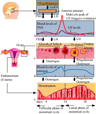 from which day the menstrual phase occur and which hormone