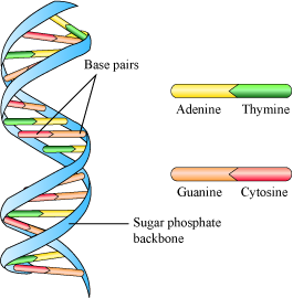 Molecular basis of inheritance studymaterial cbse class 12 in a dna two polynucleotide chains are coiled to form a helix sugar phosphate forms backbone of this helix while bases project in wards to each other ccuart Gallery