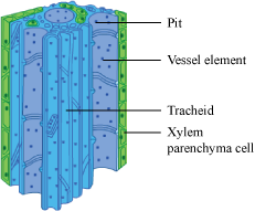 What are the constituents of xylem - Science - Tissues ...