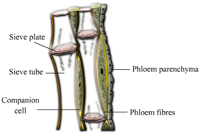 Draw a labelled diagram of phloem tissue and explain the process of expert answer ccuart Gallery